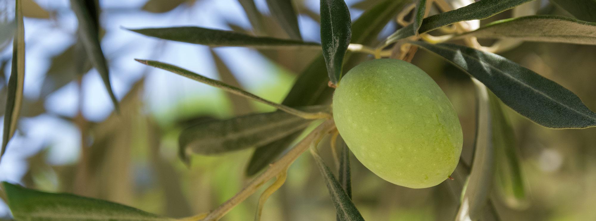 L'huile d'olive Mon Olivier.ca