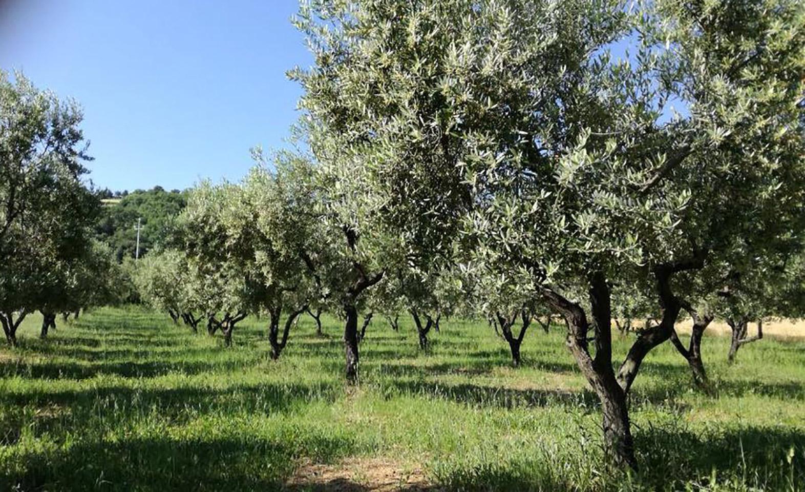 L'oliveraie Mon Olivier.ca au bord de l'Adriatique